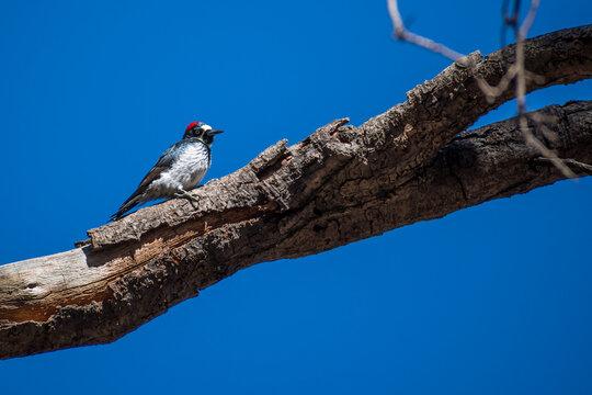 An Acorn Woodpecker in Sierra Vista, Arizona