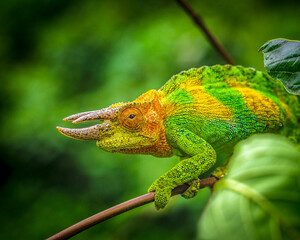 Rwenzori three-horned chameleon