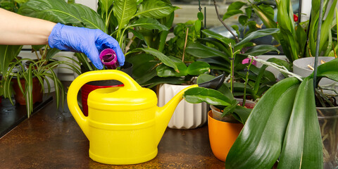 gardener fertilizer home orchid plants. houseplant care. woman watering orchid flowers. , housework and plants care concept. Home gardening