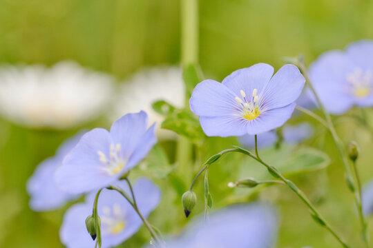 Blaue große Blüten, Nahaufnahme