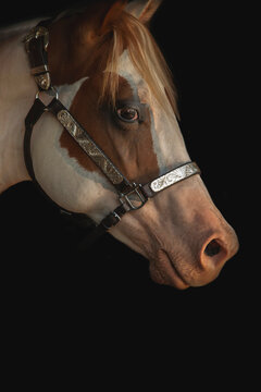 beautiful paint horse with decorated western halter head portrait on black background