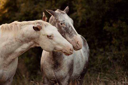 lovely two Appaloosa horses standing in high grass and  cuddling by the sunset