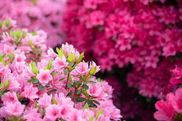 Pink azalea flowers background with copy space ピンク色のツツジの花 背景 コピースペース