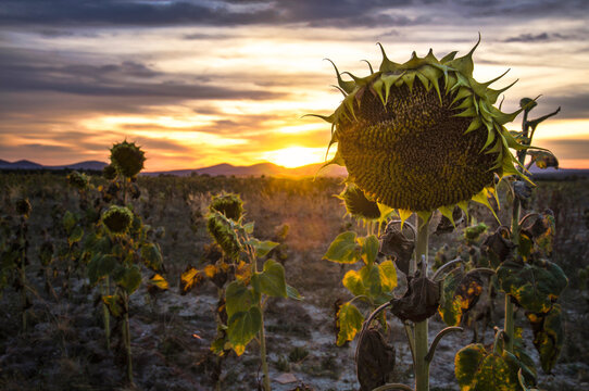 Landscape of dried sunflowers at sunset