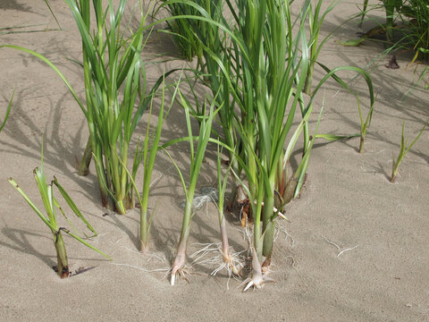 Bolboschoenus maritimus, commonly known as sea clubrush, cosmopolitan bulrush, saltmarsh bulrush or bayonet grass, with washed out rootstalks, growing at shore of river Elbe near Blankenese, Germany