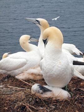 northern gannet (Morus bassanus), parent with young at Heligoland, Germany