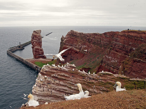 """northern gannets (Morus bassanus) at Heligoland, Germany, with the stack rock """"Lange Anna"""" in the background"""