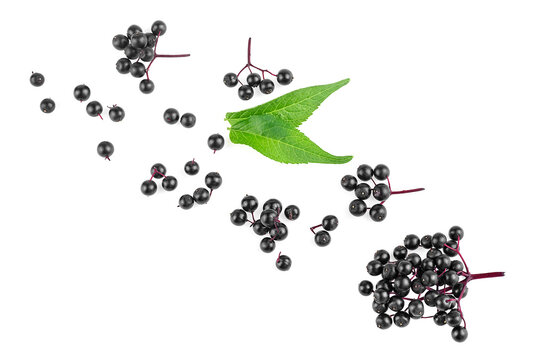 Twigs of elderberries with green leaves isolated on a white background, top view. Sambucus. Fruit black elderberry.