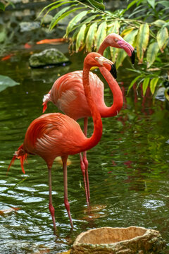 Flamingos at Butterfly World,Victoria, British, Canada