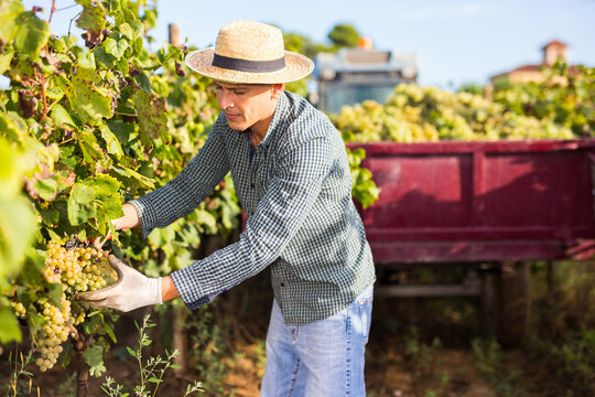 Portrait of focused farm worker picking ripe white grapes in vineyard in autumn day.
