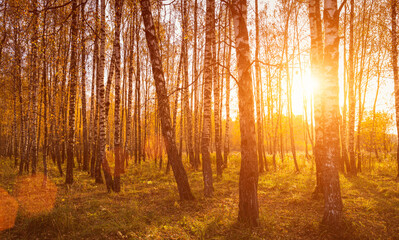 Sunset in an autumn birch grove with yellow leaves and sunrays cutting through the trees on a sunny evening during the fall.