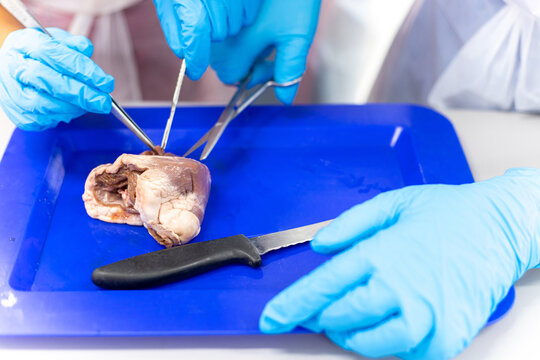 Medical students doing sheep heart dissection in the lab class
