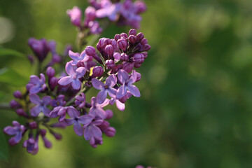 Closeup shot of a branch of lilac flowers on a background of foliage
