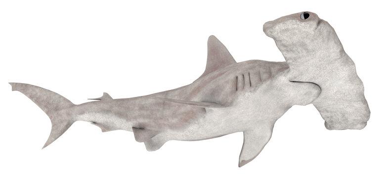 Hammerhai, Freisteller