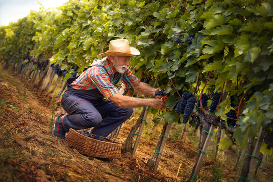 Senior winemaker collecting grapes into the wicker basket