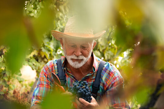Portrait of winegrower in the greenery of the vine