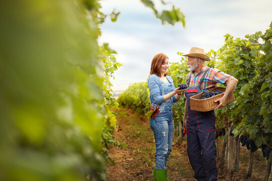 Two farmers in vineyard working during harvest grape