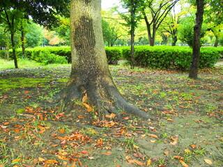 楠の根元に散る桜の枯れ葉のある公園風景