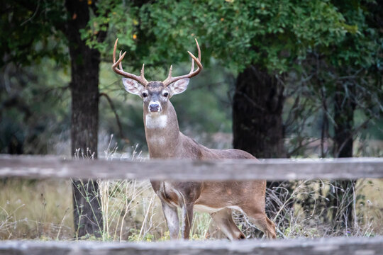 whitetail buck standing with large antlers