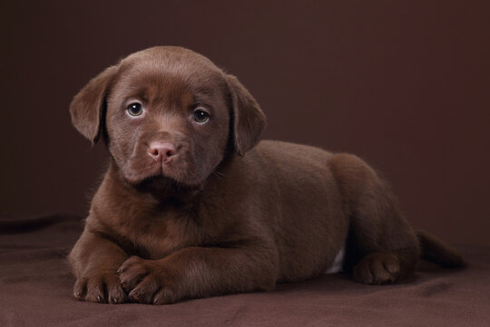 Cute labrador puppy lying on brown background