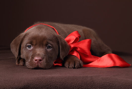 Cute little labrador puppy with red bow