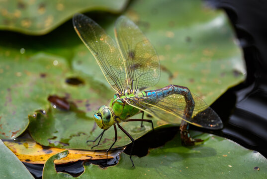 Emperor Dragonfly - Anax imperator, beautiful large blue dragonfly from Europena fresh waters, Stramberk, Czech Republic.
