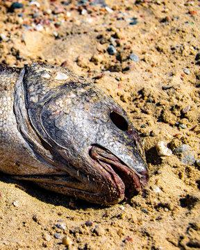 Dead Head Fish Over Sand