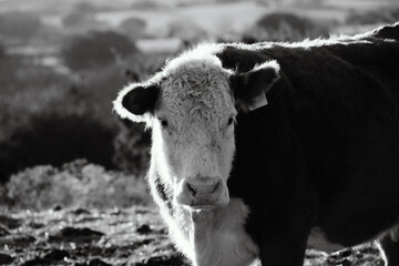 Wall Mural - Hereford cow during sunset in black and white, beef cattle concept.
