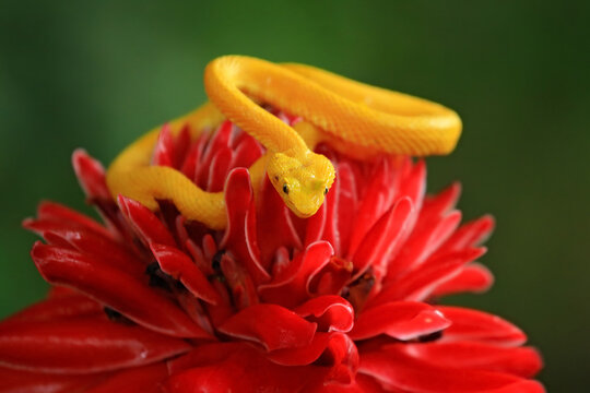 Bothriechis schlegeli, Yellow Eyelash Palm Pitviper, on the red wild flower. Wildlife scene from tropic forest. Bloom with snake in America. Wildlife Poison danger viper from Costa Rica.