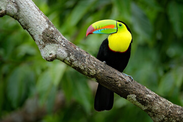 Wall Mural - Jungle wildlife, Mexico. Toucan in green forest.