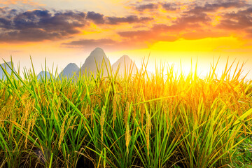 Ripe rice field and mountain natural scenery in Guilin,China.