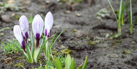 White-purple crocus flower buds in dew / rain drops in the morning