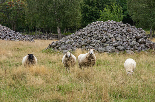 Grazing Sheep - Four grazing sheep in a silvopasture environment in Sweden, concept of animal husbandry as well as of the obedient and steerable flock.