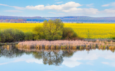 Spring landscape with a field of yellow flowering rapeseed and a river with reflected clouds