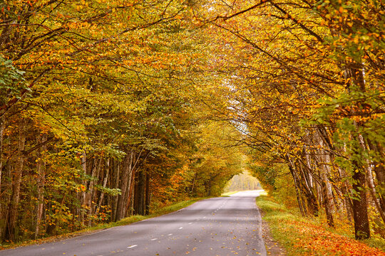 Asphalt road in autumn lane with alder trees tunnel. Beautiful nature landscape. Fall season. Rows of trees lining long empty path.