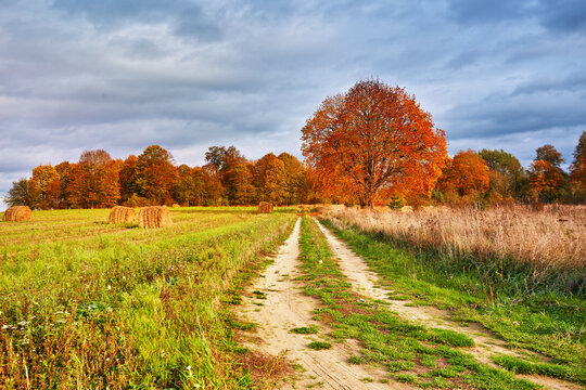 Autumn Field, Maple Tree, Country Road. Fall rural landscape. Dry leaves in the foreground.