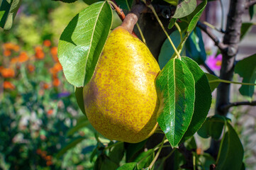 Appetizing ripe yellow pear hanging on a branch in the garden. Close-up of juicy pear fruit