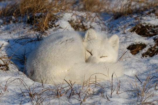 White arctic fox (Vulpes Lagopus) curled up on snow in Arctic tundra. Snow Fox. Sleeping fox.