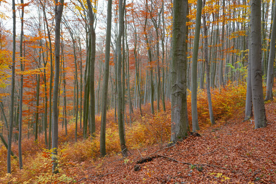 Warm colors in autumn beech forest with copper and yellow leaves. Overcast weather. European beech forest in Czech Republic. Brown fallen leaves on the ground. Grey tree trunk.