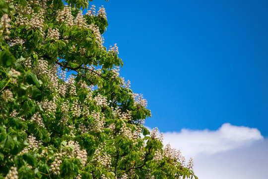 White candles of a blossoming chestnut on a background of blue sky. Flowers of Aesculus Hippocastanum with a space for your text