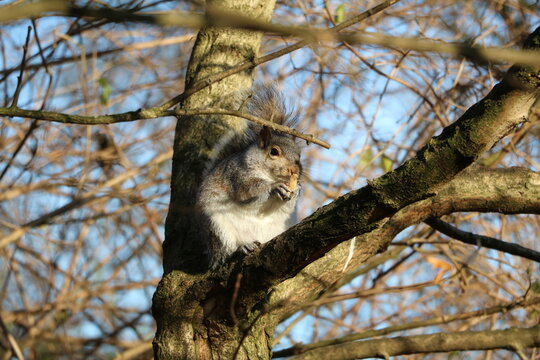 Gray squirrel eats nuts in Hyde Park London, United Kingdom