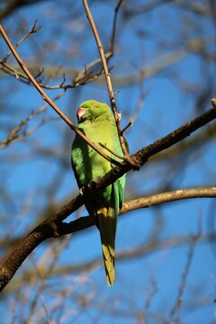 Green Rose-ringed Parakeet sitting in the tree in Hyde Park in London, United Kingdom