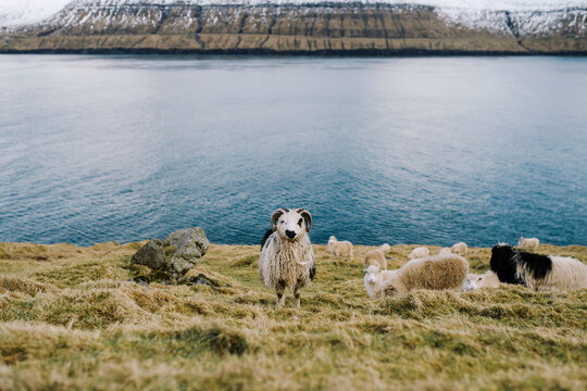 Funny sheep grazing