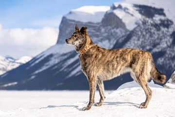 Wall Murals Dog Beautiful young Dutch Shepherd dog standing in the snow at the mountain. Concept about animals, winter and nature.