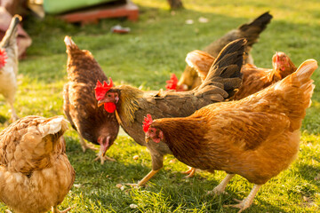Flock of chicken eating seeds on the grass in a rural area