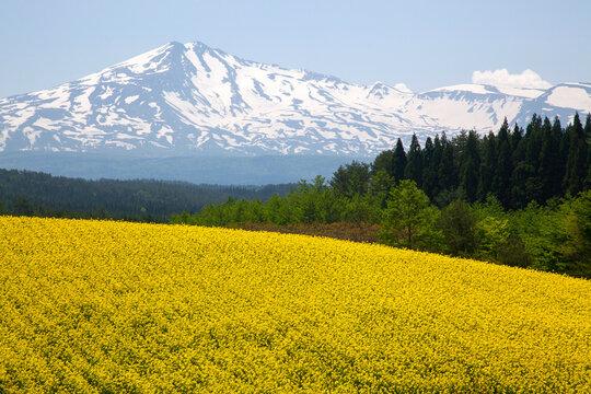 鳥海高原 鳥海山と菜の花