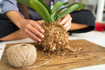 DIY home decoration with air plant hanging japanese moss ball. Woman making orchid kokedama with moss and rope. Gardening indoors.