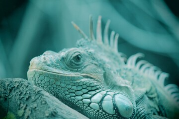 iguana in the zoo