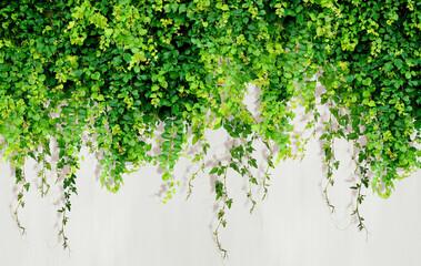 Obraz Curly ivy leaves isolated on light background. - fototapety do salonu