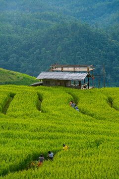 Group Tourist travel in Green Rice Terraced at Baan Pa Bong Piang Village, Thailand